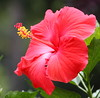 hibiscus IMG_2385