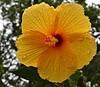 hibiscus IMG_3332