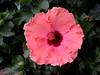 pinkhibiscus0321