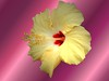 yellow hibiscus gradient wallpaper2