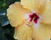 yellow hibiscus9224