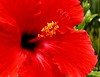red hibiscus3