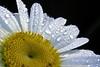 part daisy