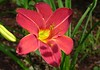 burgundy lily3290