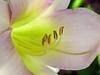 lily stamens2