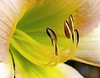 lily stamens