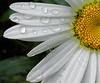 daisywdrops5296
