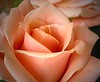rose9932
