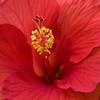 hibiscus_8501