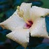 hibiscus_8622