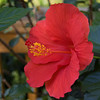 hibiscus_8498