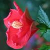 hibiscus_7245