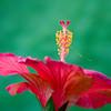 hibiscus_7282