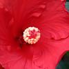 hibiscus_8609