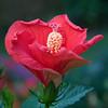 hibiscus_7245r