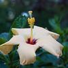 hibiscus_7760