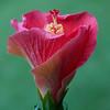 hibiscus_6407