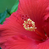 hibiscus center_7404