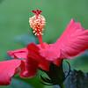 hibiscus_7757