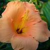 hibiscus_8503l