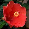 hibiscus_4548