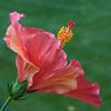 hibiscus_4895