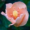 hibiscus_4459