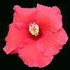 hibiscus 6904