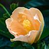 hibiscus_4544