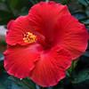 hibiscus_4532