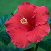 hibiscus_7404
