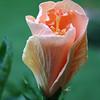 hibiscus_4678
