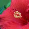 hibiscus center_7404