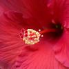 hibiscus_5377