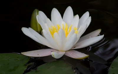 Our Waterlilies 2008