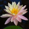waterlily_4560