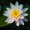 waterlily_7350