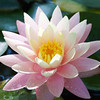 waterlily_5976