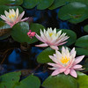 waterlilies_4575