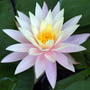 waterlily_5235