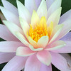 waterlily_5235c