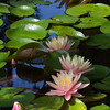 waterlilies_4596
