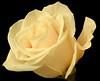pale rose black background2
