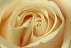 pale rose center 4719