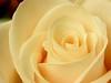 pale rose4746