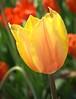 tulip_8100CR2-2