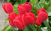 red tulips_8170