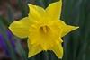 daffodil_7807CR2