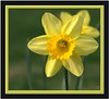 framed daffodil_7789 CR2