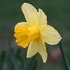 daffodil_7702